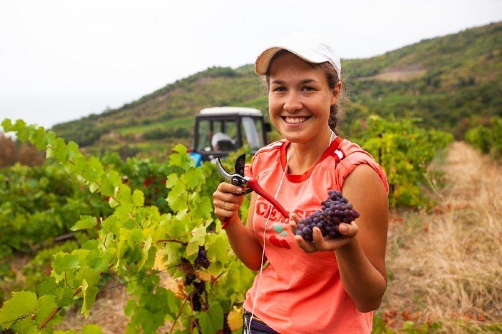 Сбор винограда на предприятии «Массандра»